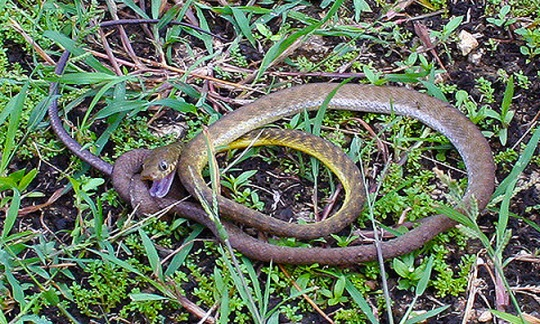 Invasive Brownsnake in the grass