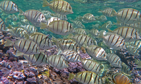 A large group of white fish with black stripes swim in the water above a colorful coral reef.