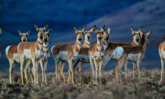 A large group of tan and white pronghorn stand together in a grassy field.