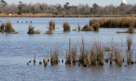 restored estuarine marsh in Neches River basin, Texas