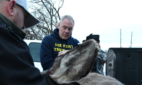 Secretary Zinke and another white man in outdoor gear use pliers to attach a tag to the ear of a sedated mule deer.