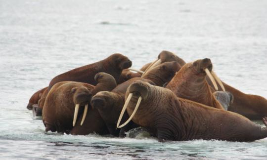 Walrus200_200