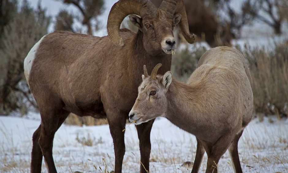 A male and female bighorn sheep stand on a grassy plain covered in snow.