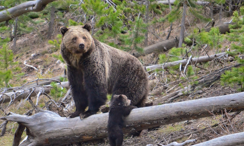 A large brown grizzly bear stands on a log in a forest as a young bear cub plays nearby