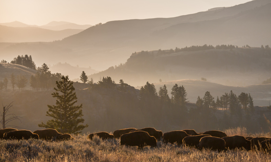 A herd of bison move from left to right across a grassy hillside with foggy mountains in the background.