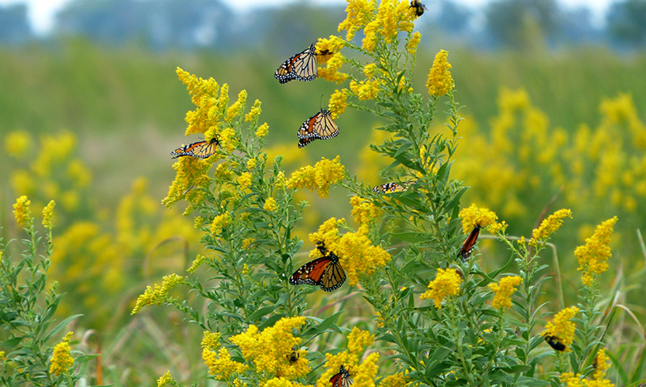 Monarch butterflies on goldenrod. Photo by Rachel Laubhan, U.S. Fish and Wildlife Service, Creative Commons attribution license.