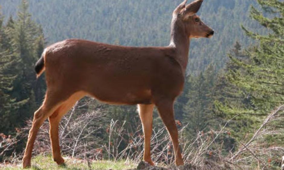black-tailed deer (doe)