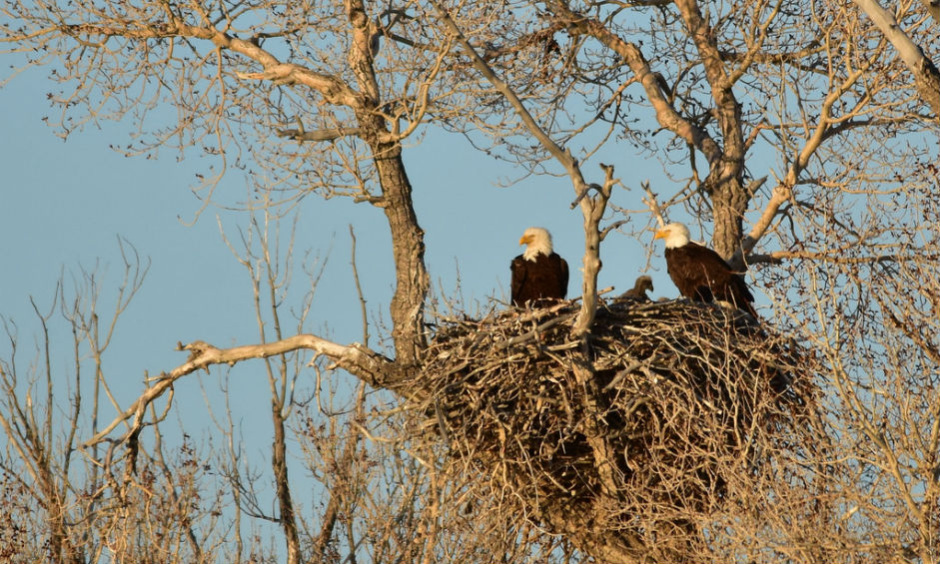 Two adult bald eagles perch in their nest in a barren tree with an eaglet