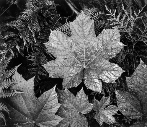 Leaves, In Glacier National Park Montana Ansel Adams National Archives no. 79-AAE-23