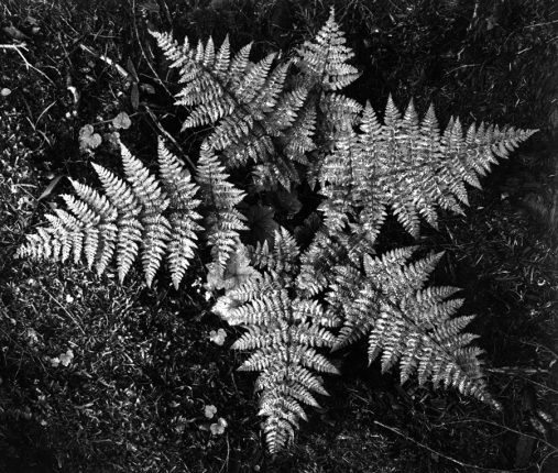 Ferns, In Glacier National Park Montana Ansel Adams National Archives no. 79-AAE-24