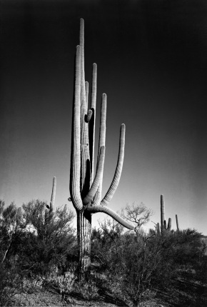 In Saguaro National Monument Arizona Ansel Adams National Archives no. 79-AAN-1
