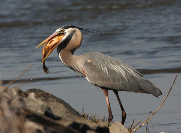 A blue heron eating a fish