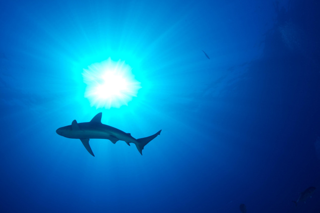 A shark swims in shallow water with sunlight around it