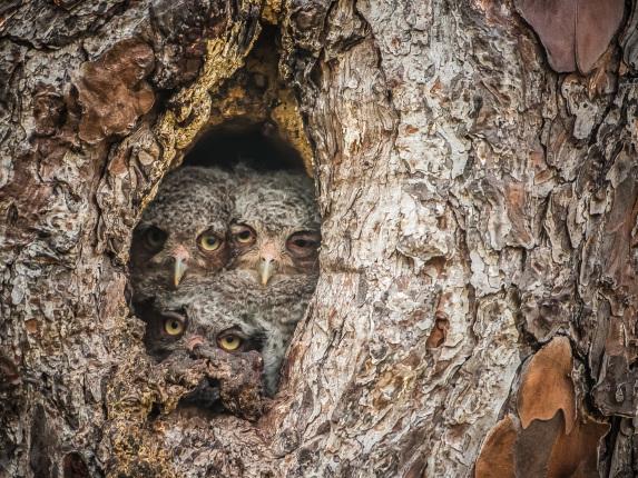 Three owlets hiding in a tree