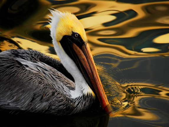 A close up shot of a brown pelican swimming in the water with reflections of golden light around it