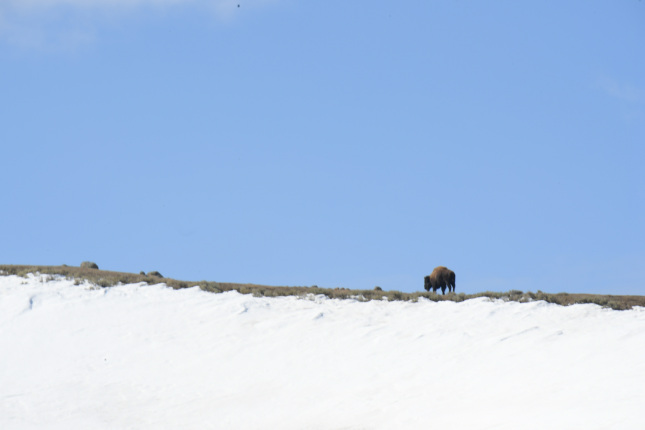 Lone bison along a snowy ridge line