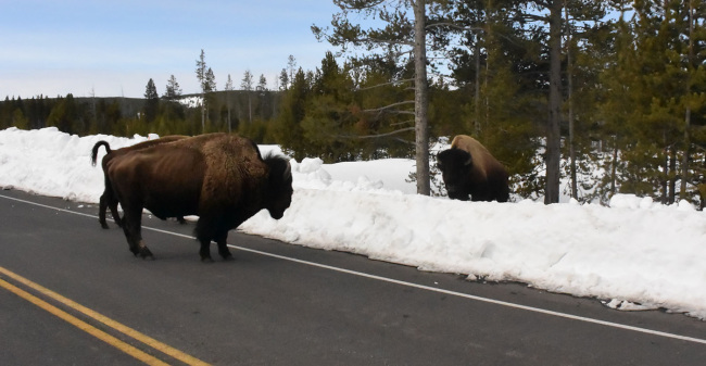 Two American bison by side of road and bank of snow