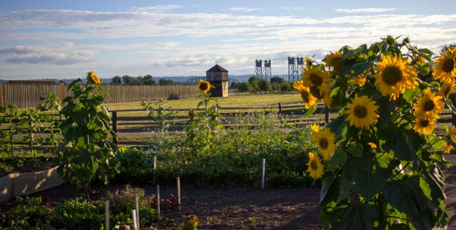 A light blue sky with white clouds sits above wooden barracks and trees in the background and a fenced in sunflower garden in the foreground.