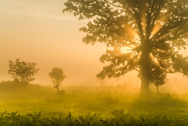 A deer stands in tall grass near a large tree as sunlight streams through the morning fog.