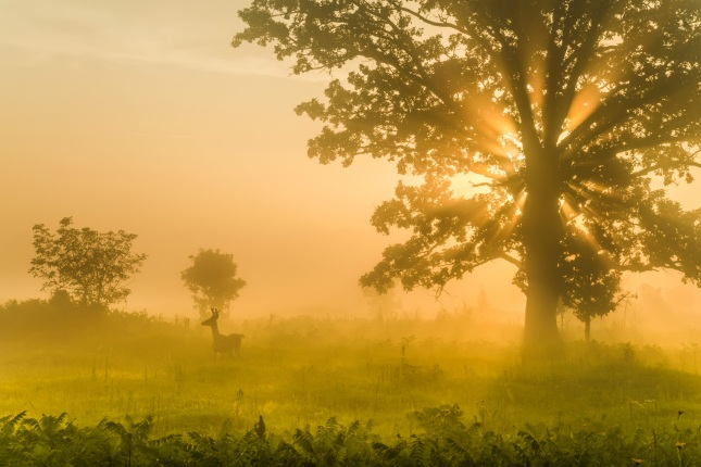 A deer stands in tall grass by a large tree as sunlight streams through morning fog.