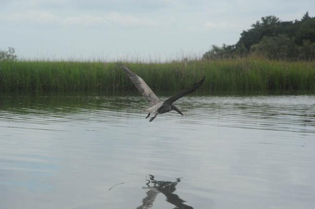 Pelican release at brunswick coast guard station ga u for Georgia fish and wildlife