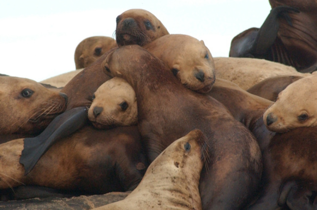 an introduction to the stellar sea lion in california Steller or northern sea lions are sometimes confused with california sea  meets  the definition of an endangered or threatened species under the esa, and is.