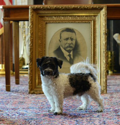 A small dog with black and white patches is standing on all four paws on the ground in front a framed photograph of Theodore Roosevelt