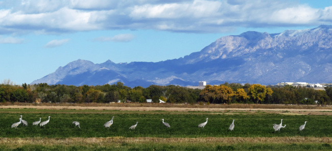 A line of white birds stand in a green field with a small city and mountains in the background.