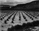 Cornfield, Indian Farm Near Tuba City, Arizona in Rain Arizona, 1941 Ansel Adams National Archives no. 79-AAR-2