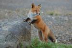 A fox kit leans on a rock