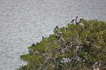 Pelicans at Sanibel Islands Wildlife Refuge
