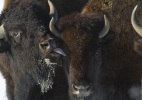 One bison licking another bison