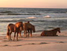 Three brown horses stand on a beach at sunset while another horse lays down in the sand.