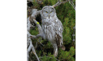 A large gray owl with yellow eyes perches on a twisted tree branch.