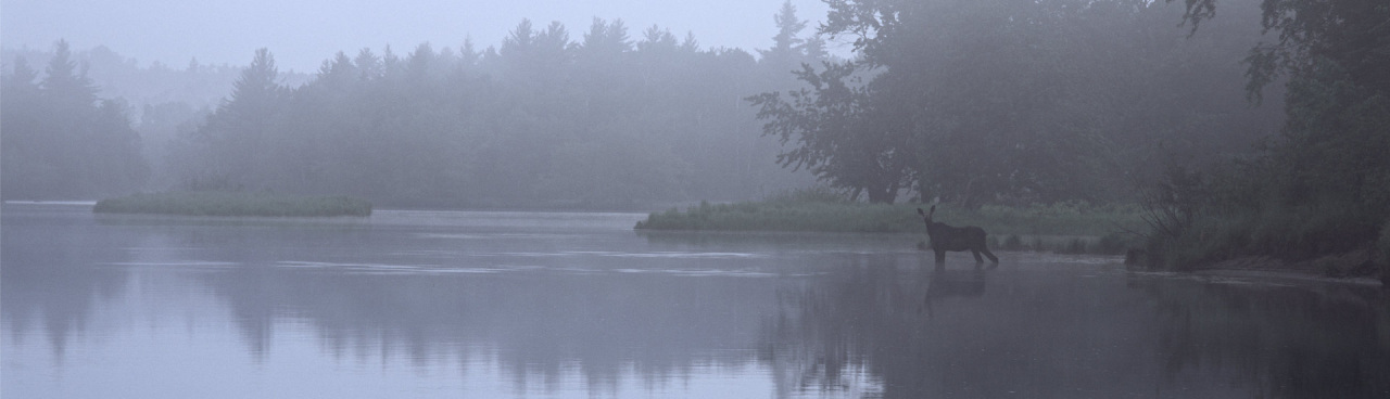 A moose in fog, wading in Haskell Deadwater, Maine Woods.