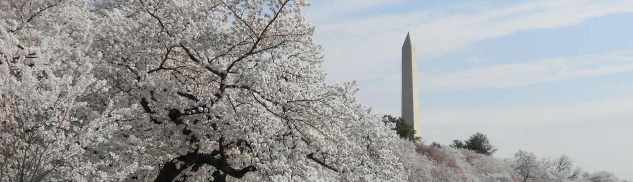 The Washington Monument, viewed above DC cherry blossoms