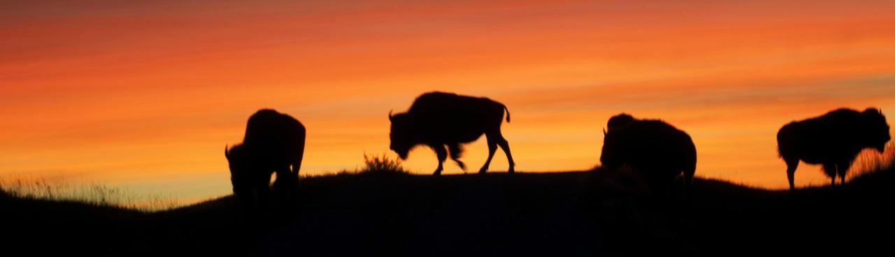 Bison in sunset silhouette on Fort Niobrara National Wildlife Refuge