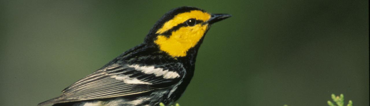 A golden-cheeked warbler.