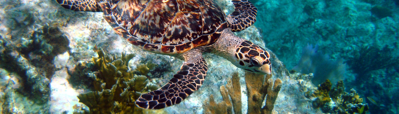 Endangered Hawksbill