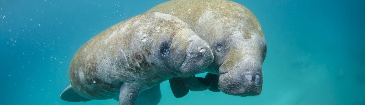 A Florida manatee and calf swim together.