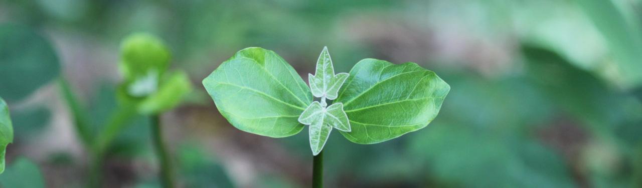Kukui Leaves