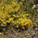 Yellow Flowers in California