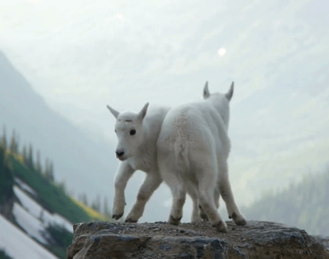 Mountain goat kids playing in Glacier National Park.