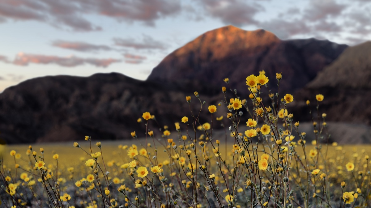 Yellow flowers bloom in the foreground as a mountain towers in the distance.