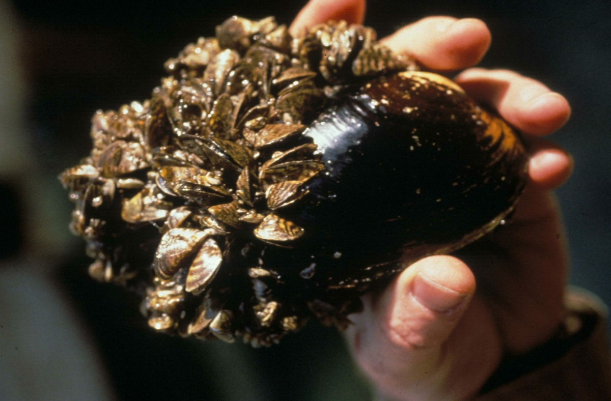A zebra mussel, with its striped shell and many larva covering the shell. The mussel is held in the palm of a hand