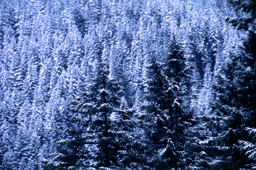 A grove of large fir trees covered in snow.
