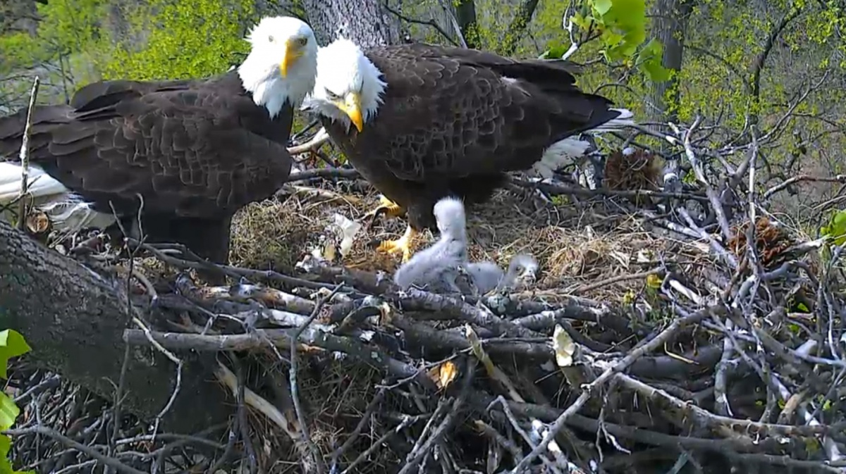 two bald eagles with two eaglets