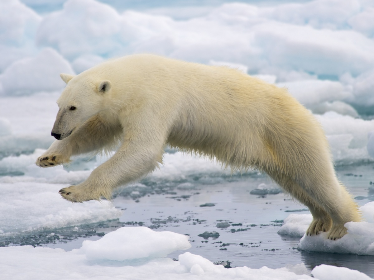 polar bear jumping in water
