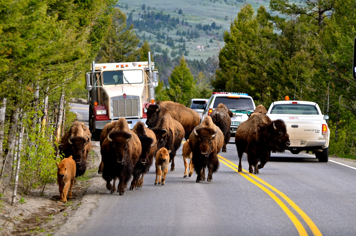 bison in front of cars on road