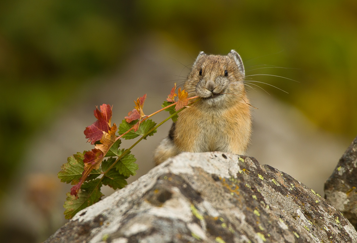 pika with leaves in mouth
